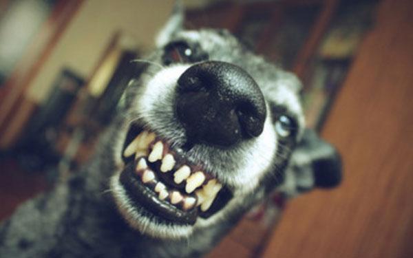 Собака показывает свои зубы