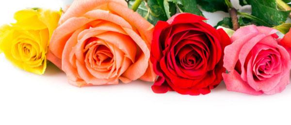 Четыре розы: желтая, светло оранжевая, красная и розовая