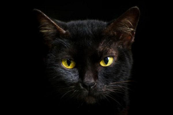 Морда черного кота на черном фоне